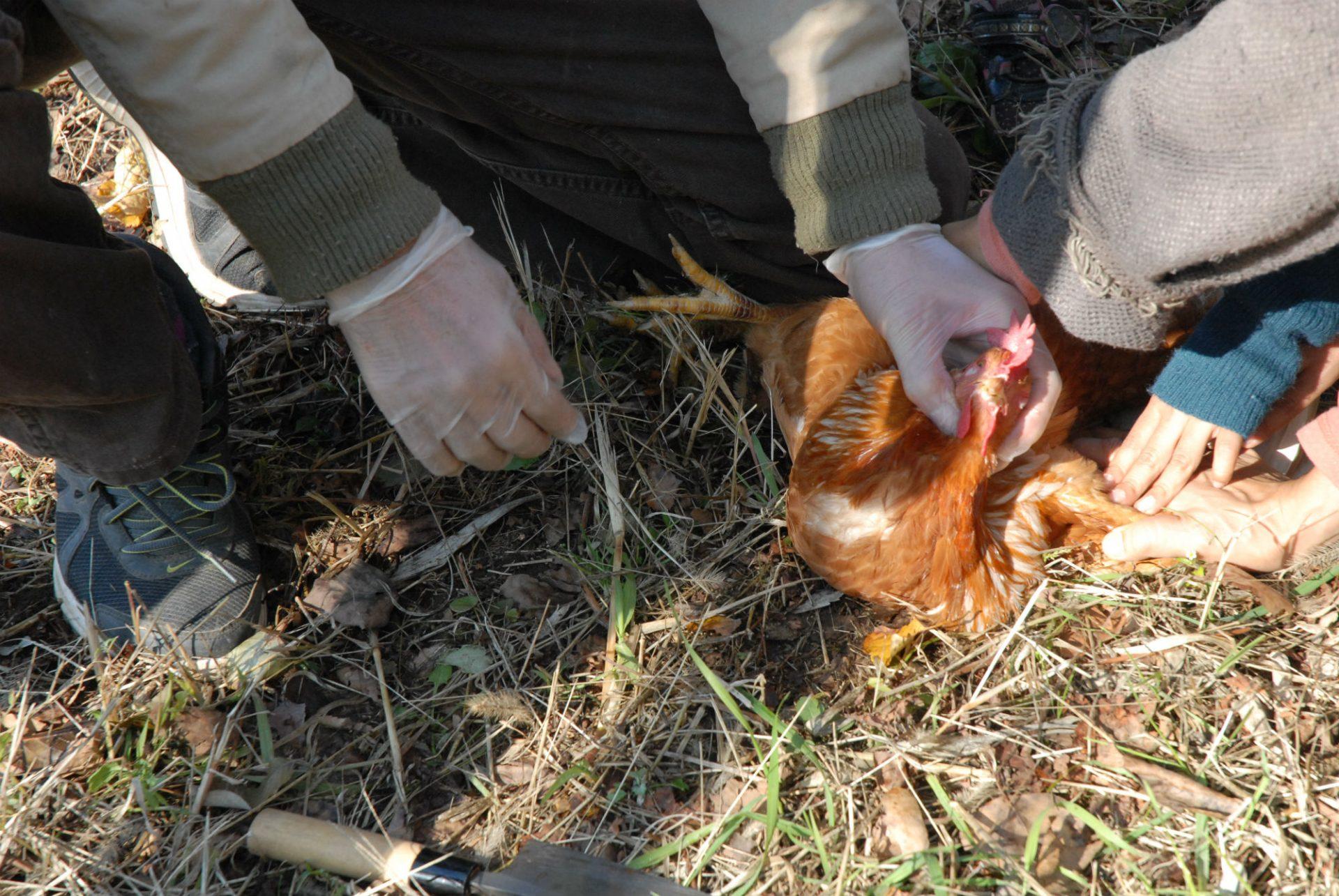 キャンプでは、冬に行うニワトリの屠殺(とさつ)、あるいは撃ち取られたばかりのエゾシカの解体に立ち会います。