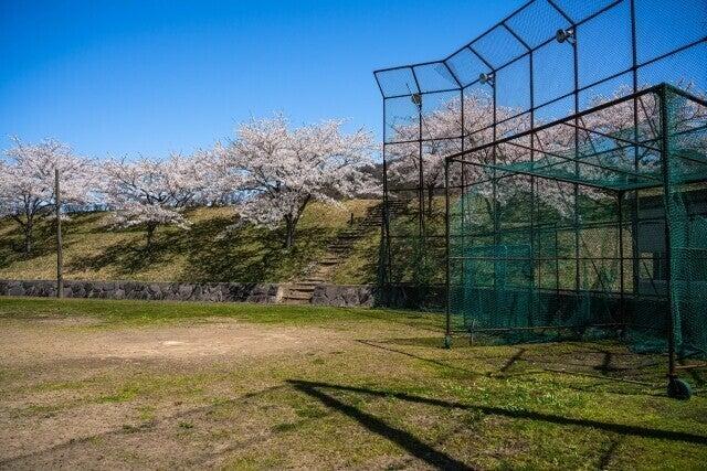 桜が咲く野球場
